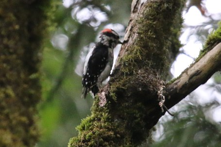 Downy Woodpecker (TC)