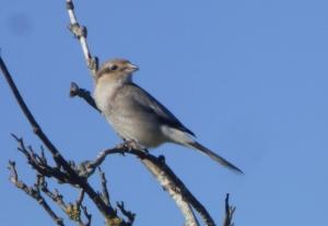 Northern Shrike (RM)