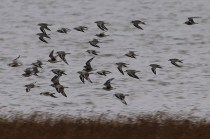 Black-bellied Plovers (TC)