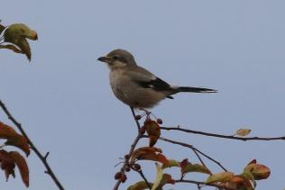 Northern Shrike (TC)