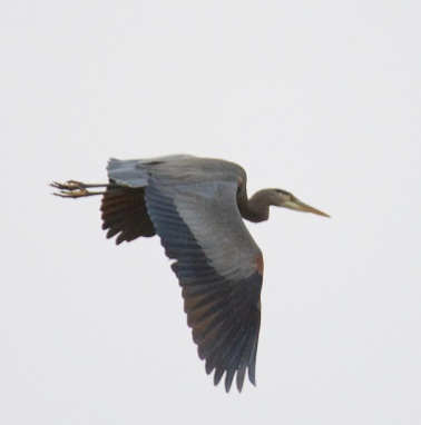 Great Blue Heron (BA)