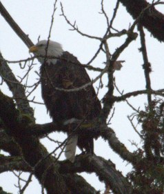 Bald Eagle (MS)