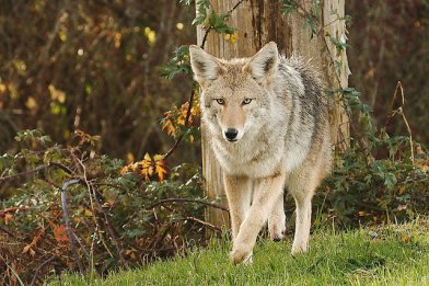 Coyote (PS)