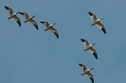 Snow Geese (PS)