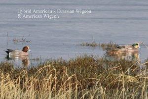 Eurasian Wigeon hybrid (TC)