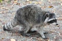 Raccoon (TC)