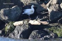 Snow Goose (TC)