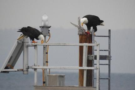 Bald Eagle pair (BA)