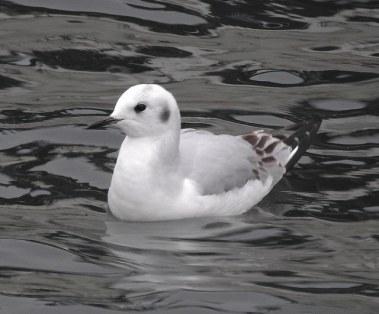 Bonaparte's Gull (BA)