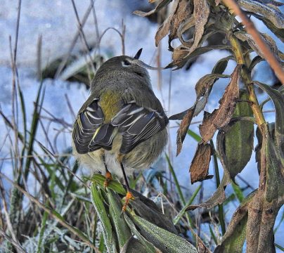 Ruby-crowned Kinglet (BA)