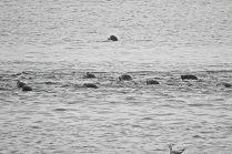 pack of Harbour seals (BA)