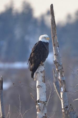 Bald Eagle (CMcV)