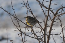 Western Meadowlark (CMcV)