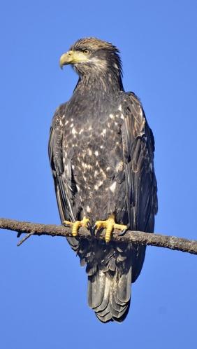 Bald Eagle juv. (GB)