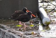 Black Oystercatcher & Black Turnstone (GB)