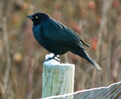 Brewer's Blackbird (GB)