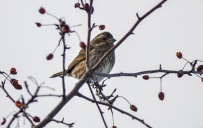 Purple Finch (GB)