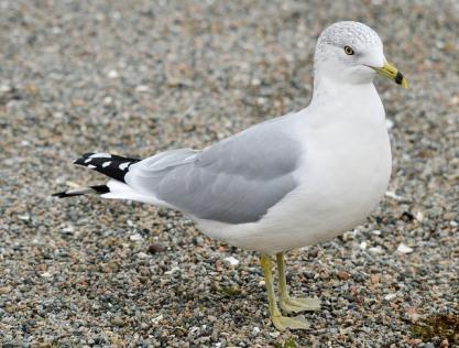 Ring-billed Gull (GB