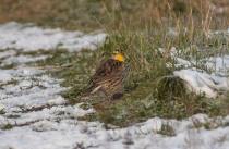 Western Meadowlark (GB)