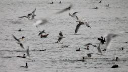 Bonaparte's Gulls (JK)