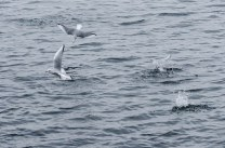 Bonaparte's Gull (JMacD)