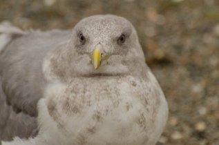 Glaucous-winged Gull (JMacD)