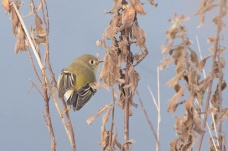 Ruby-crowned Kinglet (JMacD)