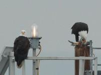 Bald Eagle pair (PS)