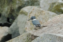 Belted Kingfisher (PS)
