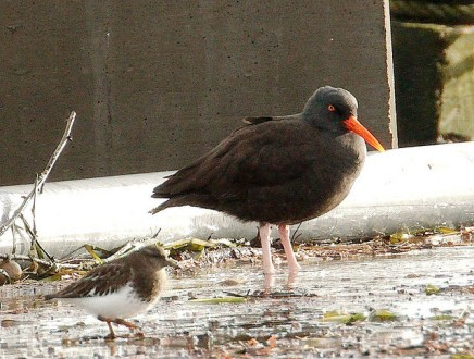 Black Oystercatcher & Black Turnstone (PS)