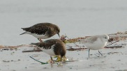 Black Turnstones & Sanderling (PS)
