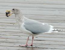 Glaucous-winged Gull (TC)