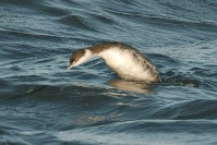 Horned Grebe (PS)