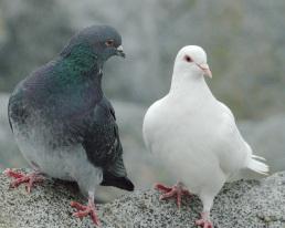 Rock Dove pair (PS)
