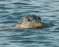 Harbour Seal (PS)