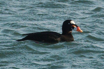 Surf Scoter (PS)