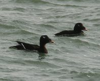 White-winged Scoter (PS)