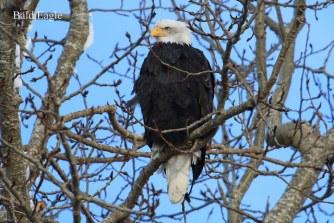 Bald Eagle (TC)