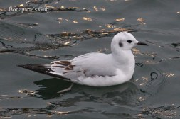 Bonaparte's Gull (TC)