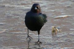 Brewer's Blackbird (TC)