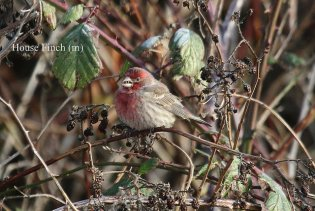 House Finch (TC)