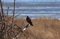 Northern Harrier (TC)