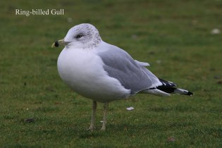 Ring-billed Gull (TC)