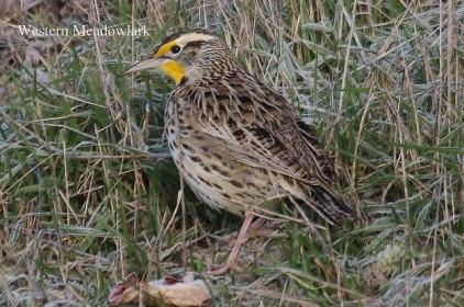 Western Meadowlark (TC)