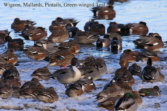 American Wigeon, Mallard, Pintail & Green-winged Teal (TC)
