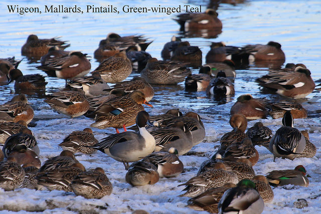 American Wigeon, Mallard, Pintail & Green-winged Teal (TC)