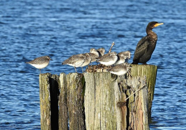 Black-bellied Plover & Double-crested Cormorant (BA)