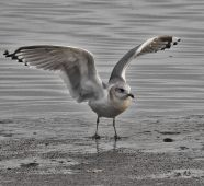 Mew Gull (BA)
