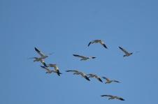 Snow Geese (CMcV)