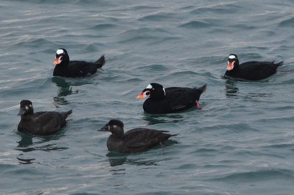 Surf Scoters (CMcV)